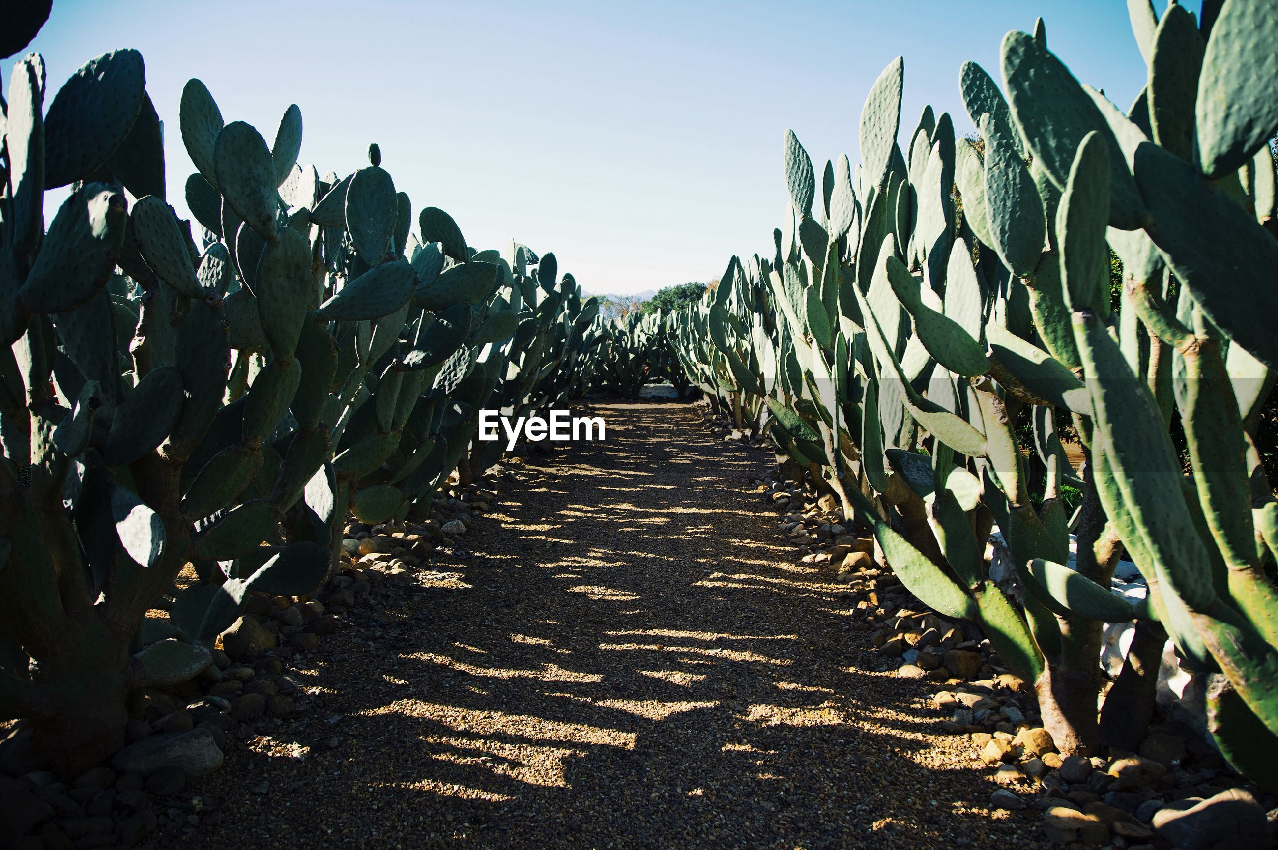 Pathway amidst cactus growing on field