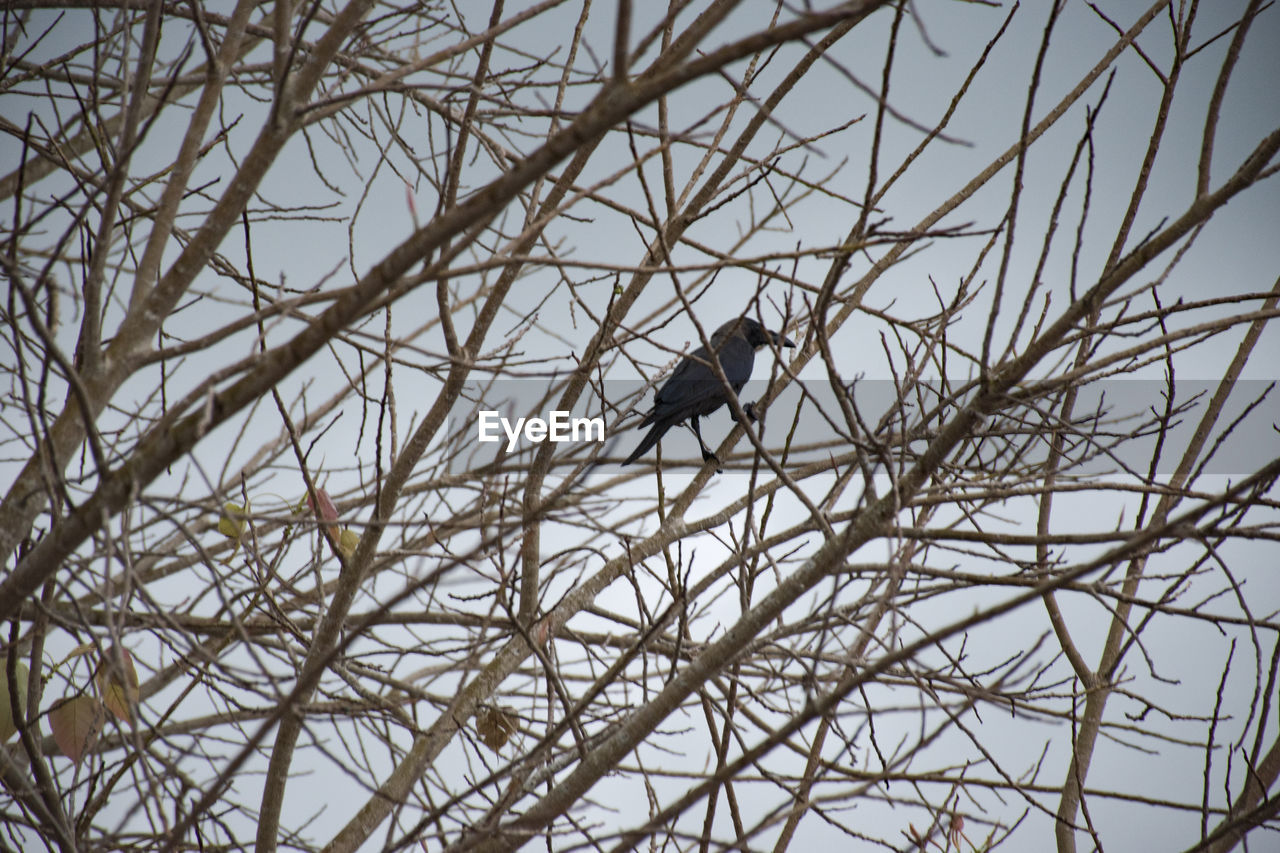 bird, animal, animal themes, vertebrate, animal wildlife, animals in the wild, perching, low angle view, one animal, bare tree, branch, no people, tree, day, nature, plant, sky, outdoors, selective focus, sparrow
