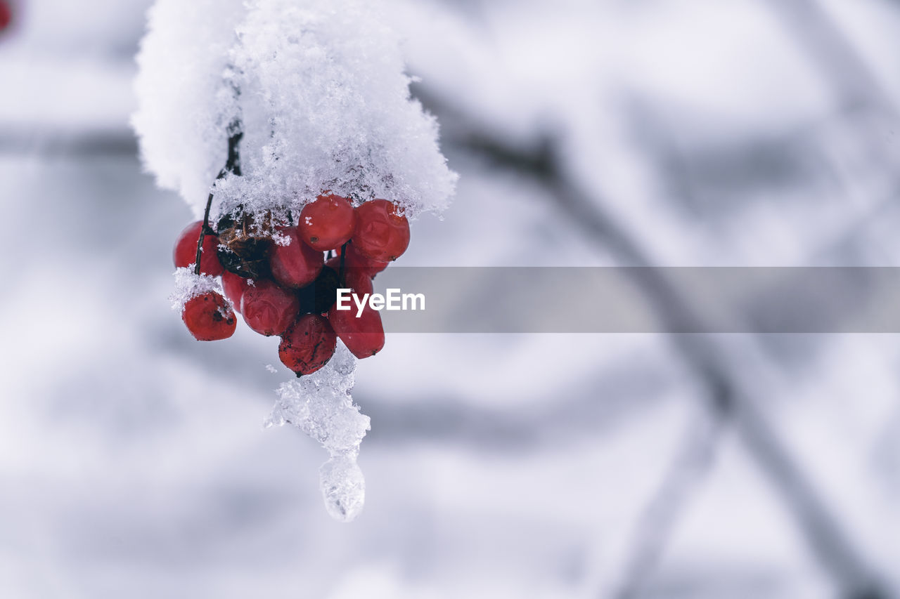 winter, cold temperature, snow, frozen, focus on foreground, day, white color, healthy eating, close-up, nature, food and drink, fruit, no people, red, ice, beauty in nature, food, berry fruit, plant, outdoors, icicle