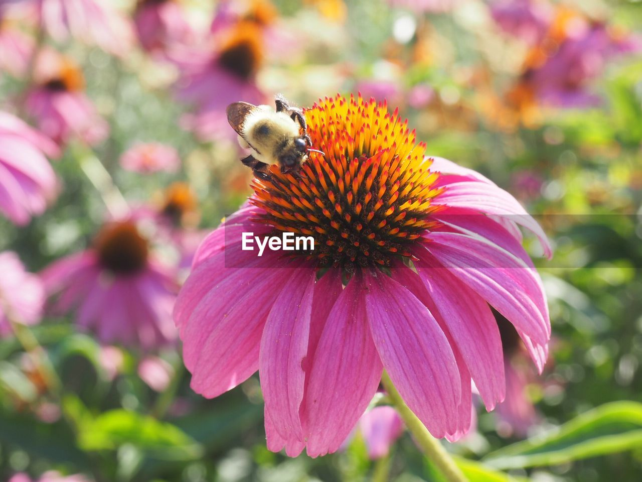 Close-Up Of Bee On Eastern Purple Coneflower