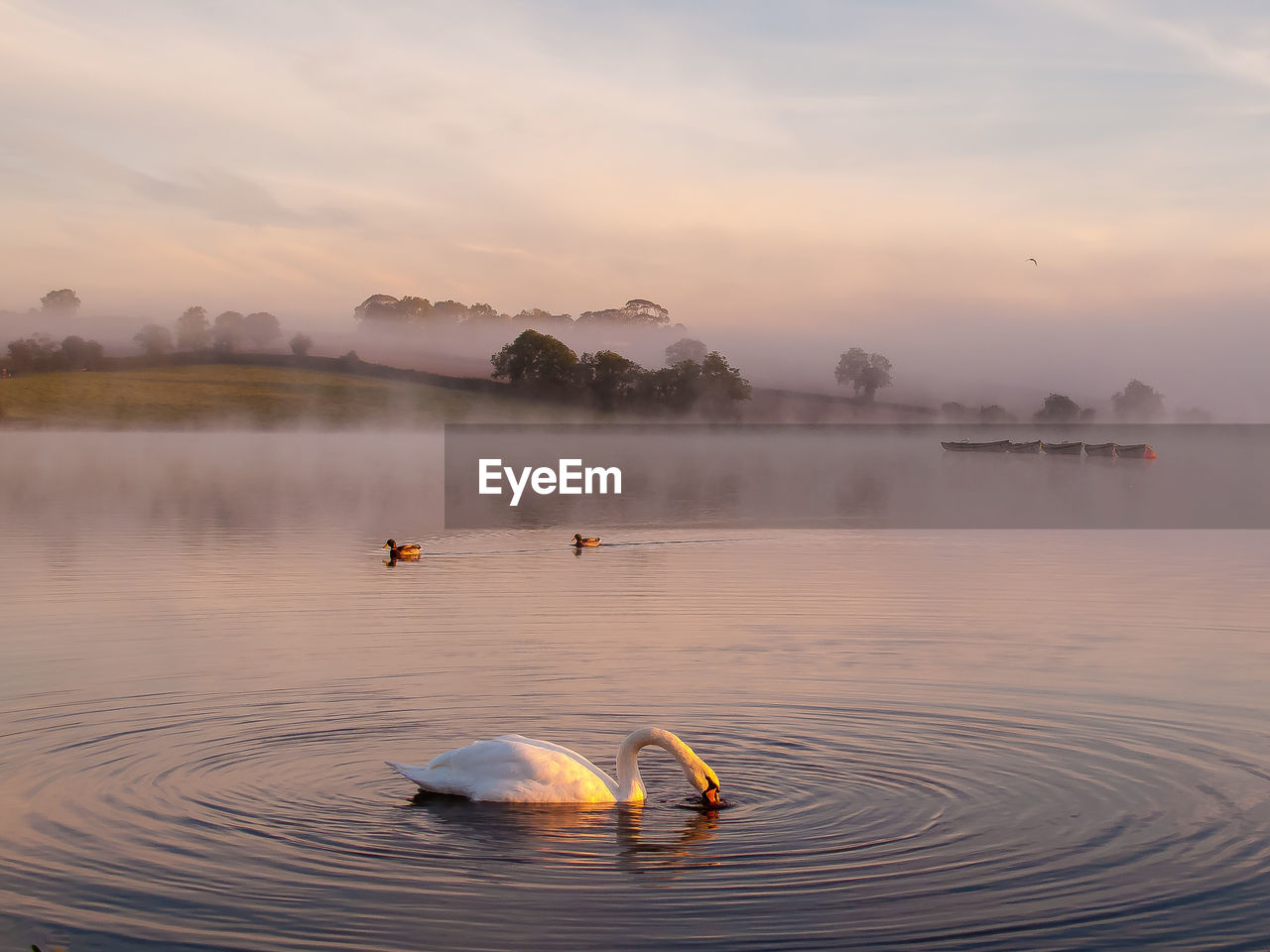Swan Swimming In Lake Against Sky During Foggy Weather