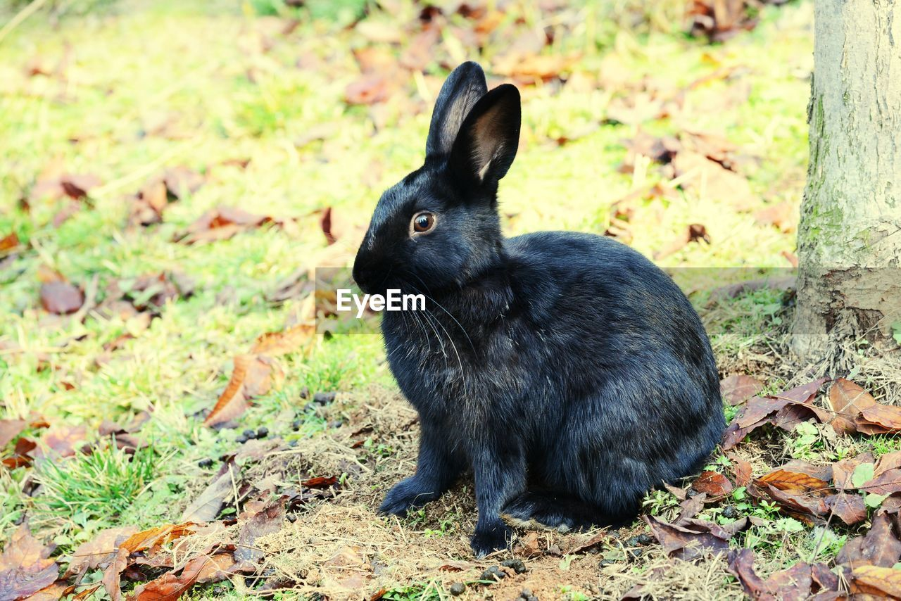 one animal, animal, mammal, animal themes, animal wildlife, vertebrate, land, field, no people, nature, day, pets, domestic animals, animals in the wild, close-up, rabbit, focus on foreground, rabbit - animal, domestic, plant part, outdoors, herbivorous, whisker