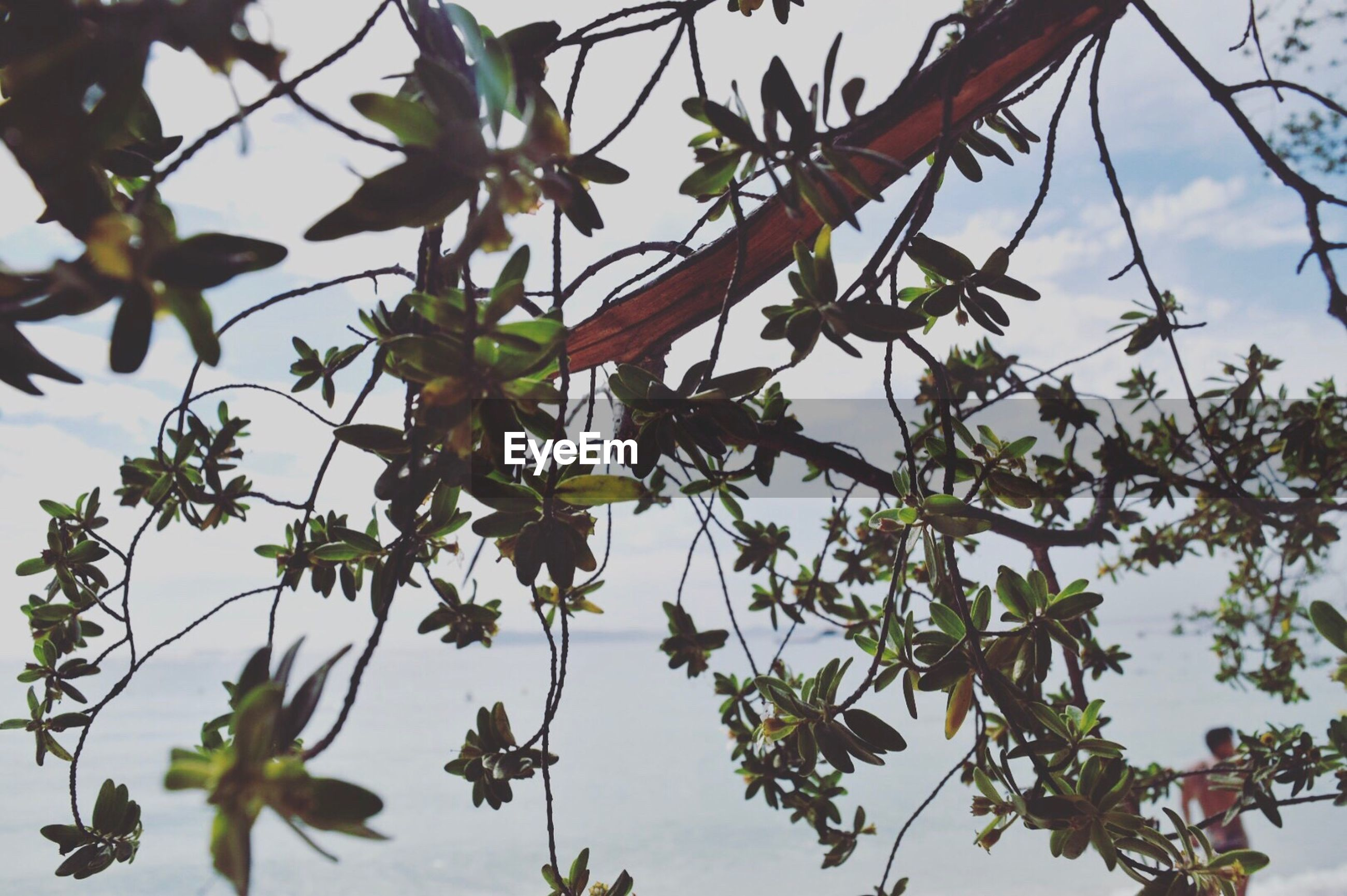 growth, nature, tree, no people, branch, leaf, low angle view, day, beauty in nature, outdoors, freshness, close-up, sky, food, olive tree