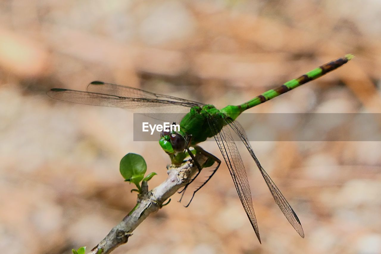 invertebrate, animals in the wild, insect, animal themes, animal wildlife, animal, one animal, focus on foreground, close-up, animal wing, nature, day, dragonfly, plant, no people, outdoors, green color, twig, damselfly, plant stem, stick - plant part