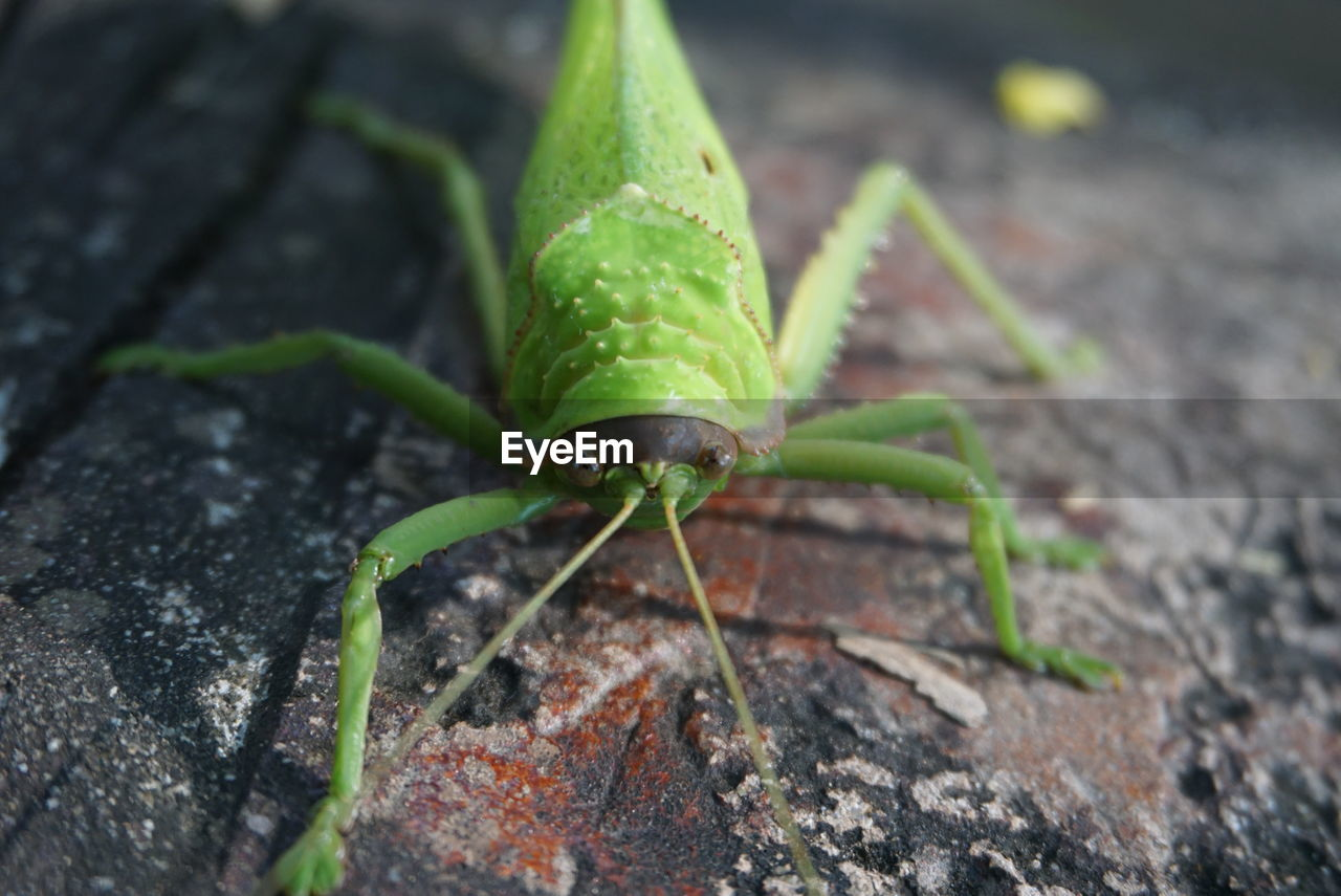 invertebrate, insect, animal themes, one animal, green color, animal wildlife, animals in the wild, animal, close-up, no people, nature, day, selective focus, plant part, leaf, animal antenna, focus on foreground, animal body part, grasshopper, outdoors