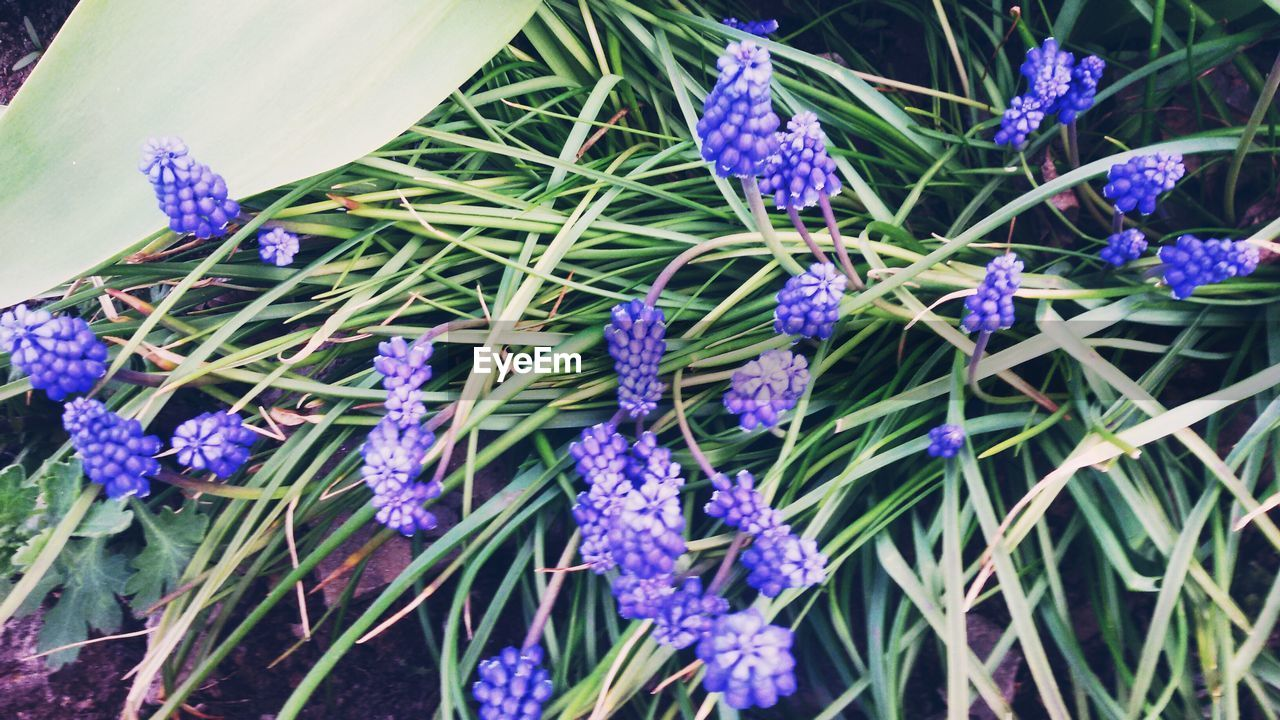 purple, flower, growth, fragility, beauty in nature, nature, plant, freshness, blue, lavender, day, hyacinth, no people, petal, flower head, outdoors, green color, close-up, blooming