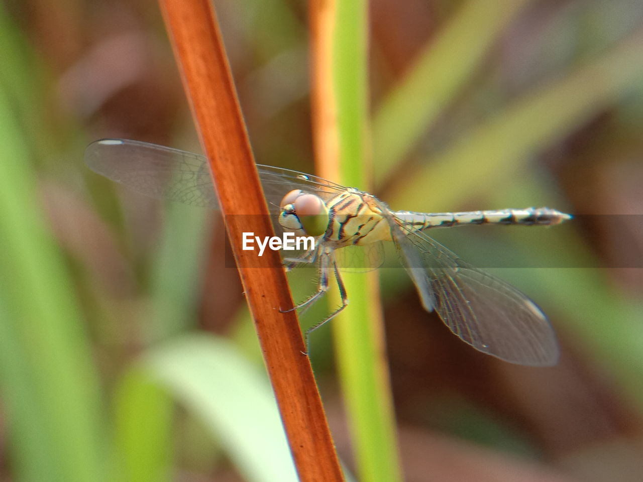 animals in the wild, invertebrate, animal wildlife, insect, animal themes, one animal, animal, plant, close-up, day, no people, nature, green color, selective focus, animal wing, growth, focus on foreground, dragonfly, zoology, outdoors, blade of grass