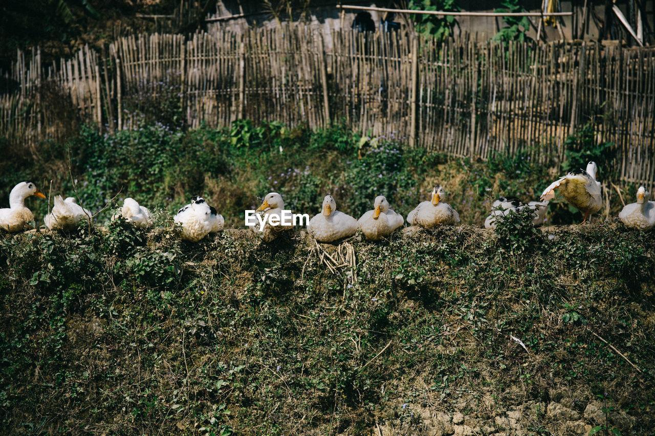Ducks Sitting On Retaining Wall