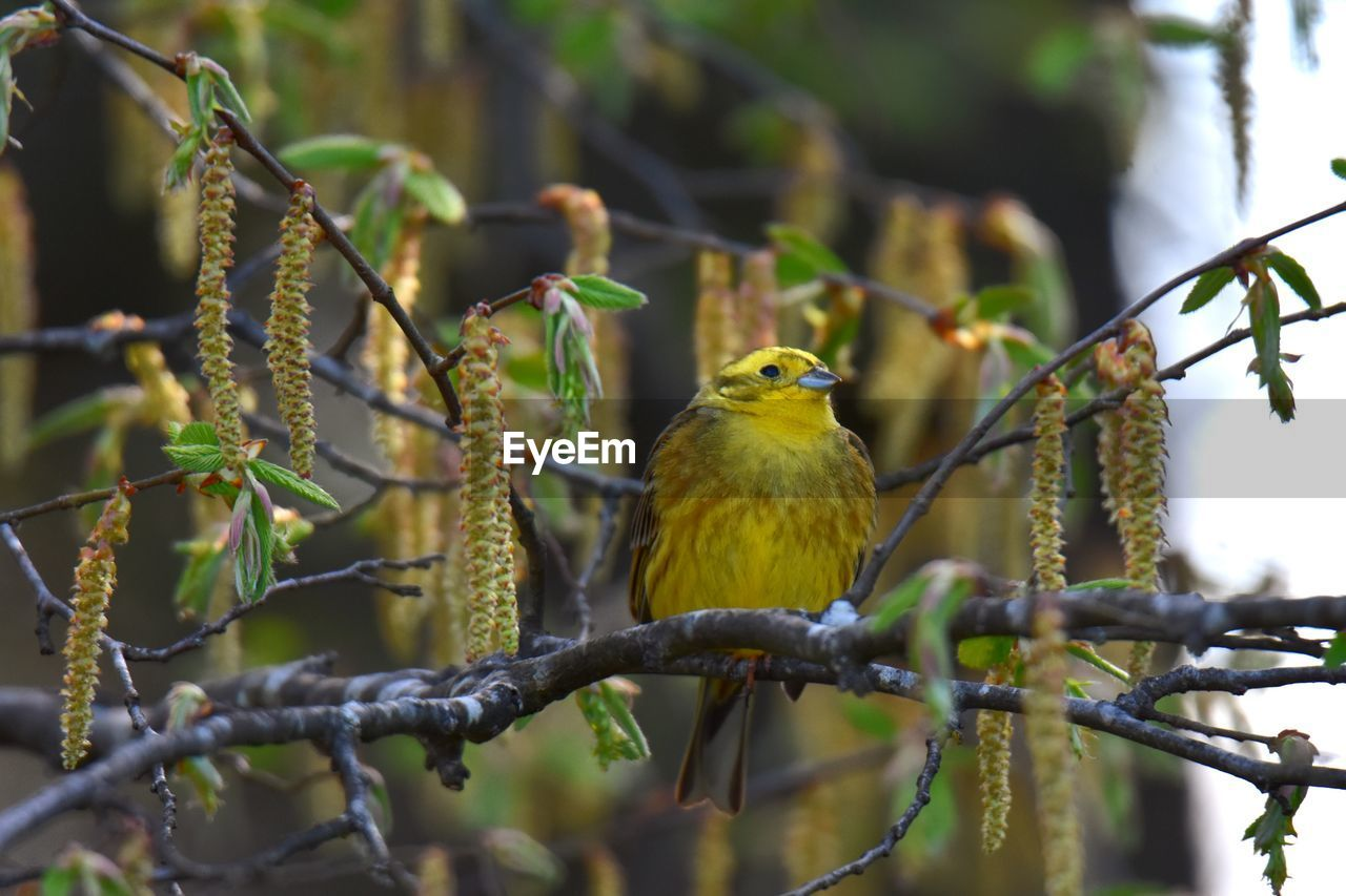 bird, vertebrate, perching, animal themes, animal, animal wildlife, animals in the wild, one animal, plant, focus on foreground, tree, branch, nature, no people, day, outdoors, beauty in nature, robin, selective focus, close-up