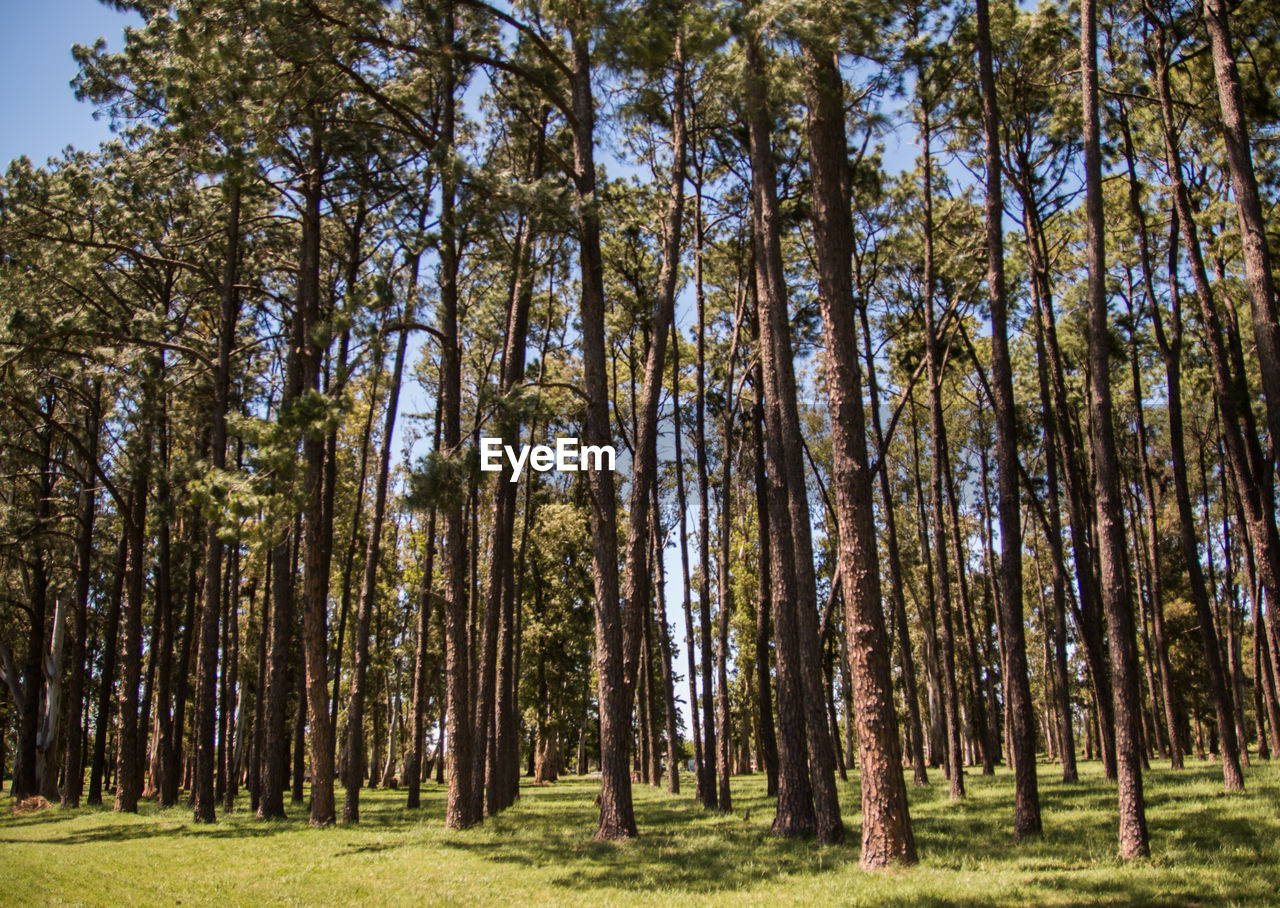 tree, plant, land, forest, tranquility, day, woodland, trunk, beauty in nature, tree trunk, growth, nature, scenics - nature, no people, tranquil scene, low angle view, non-urban scene, sky, pine tree, environment, outdoors, pine woodland, coniferous tree
