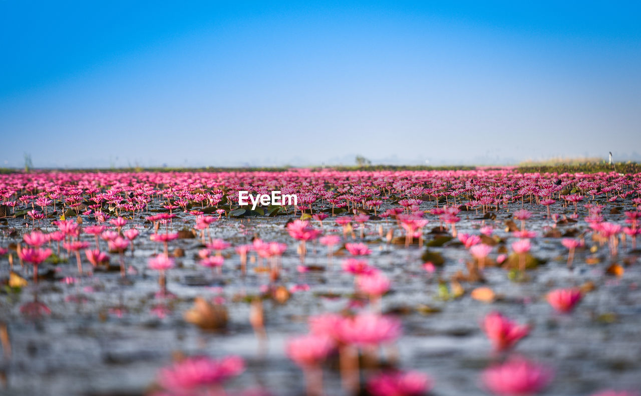 Pink flowers growing in lake against sky during sunset