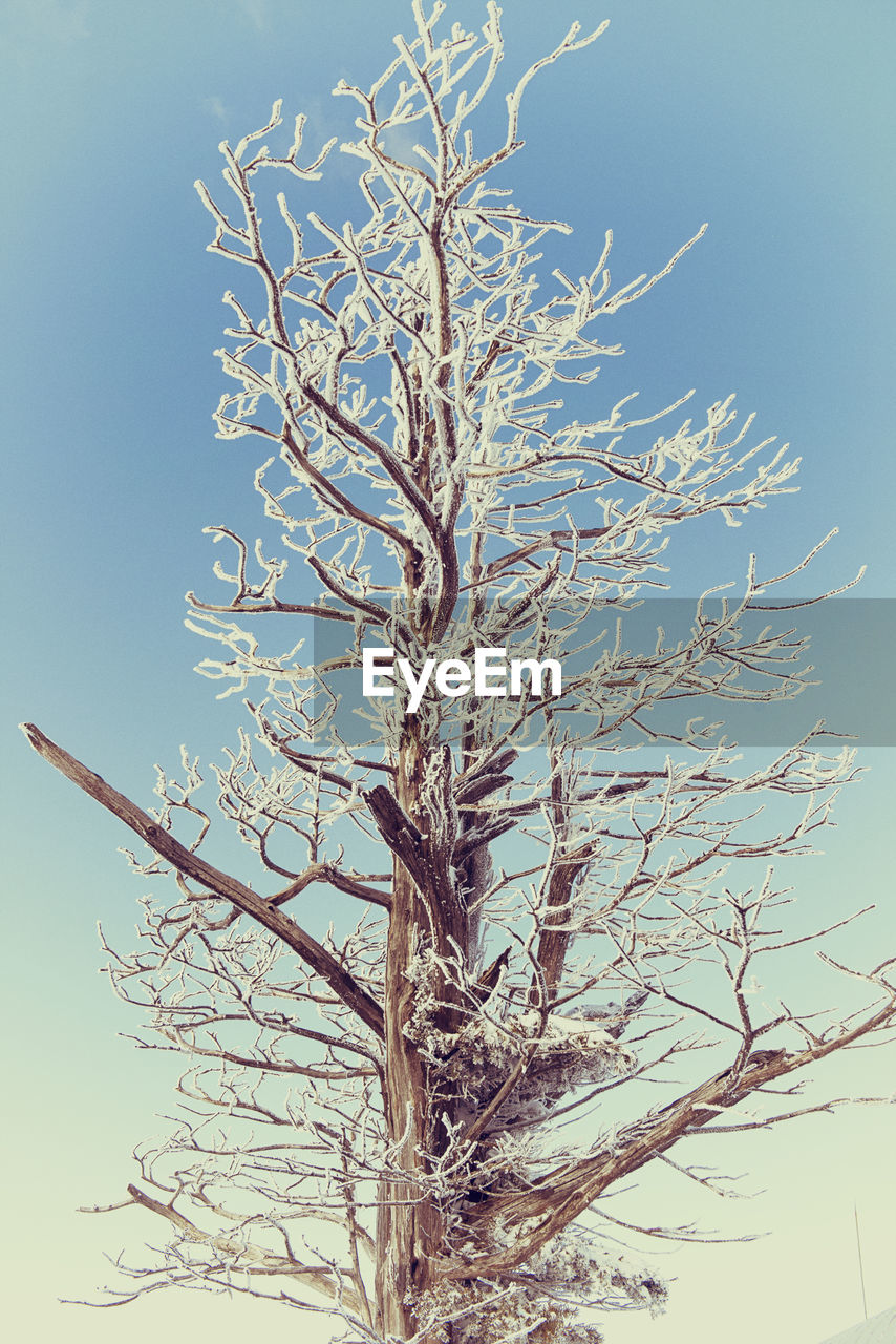 Frozen bare tree against clear sky