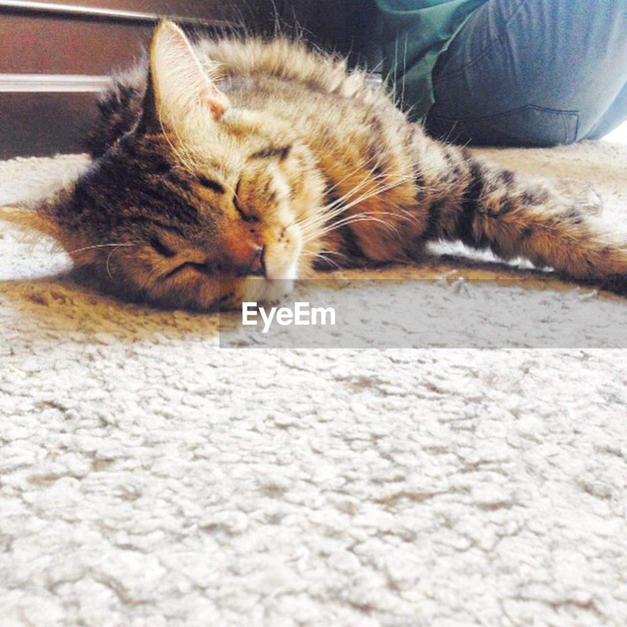 domestic cat, animal themes, pets, domestic animals, one animal, feline, mammal, relaxation, lying down, indoors, day, no people, close-up
