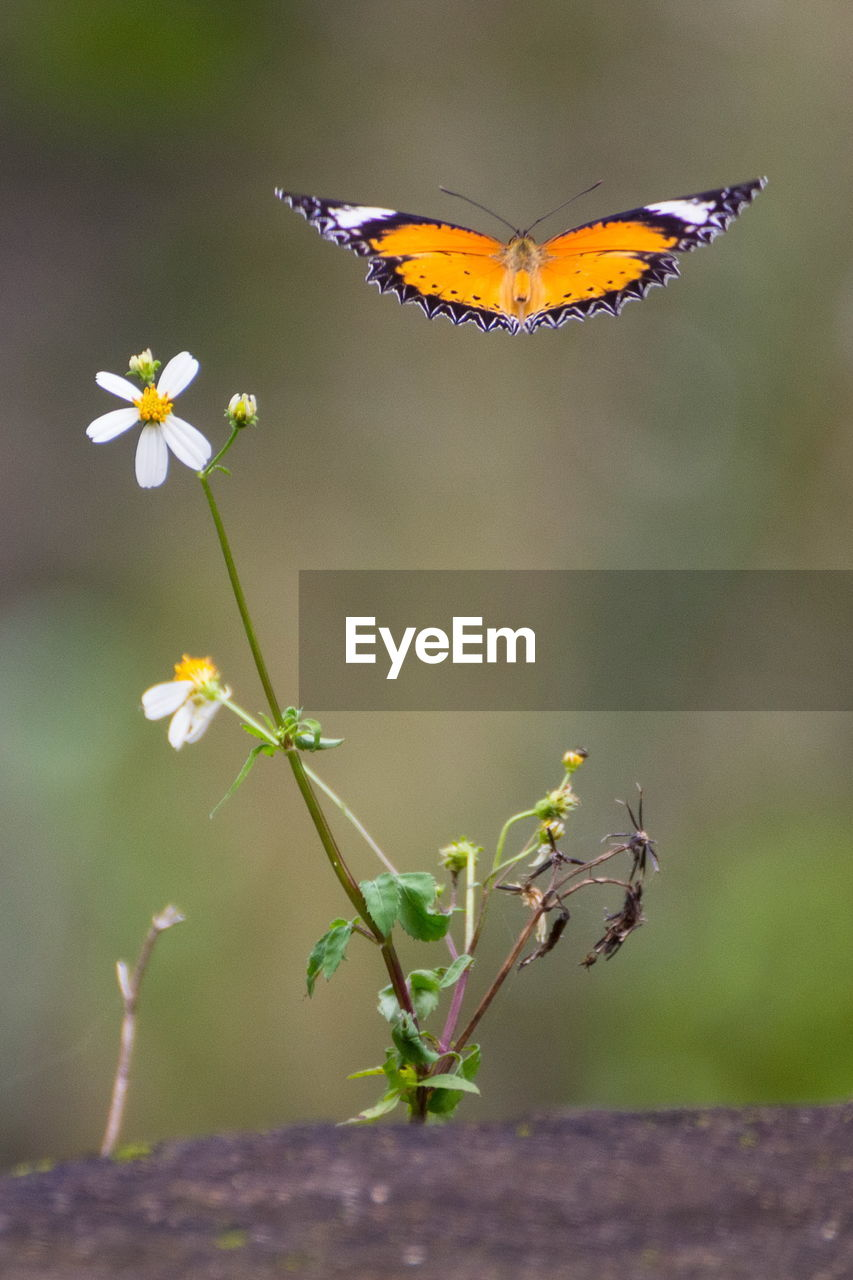 flower, flowering plant, plant, beauty in nature, insect, invertebrate, animal themes, animal, animal wildlife, animals in the wild, fragility, vulnerability, one animal, butterfly - insect, petal, close-up, freshness, animal wing, nature, flower head, no people, pollination, outdoors