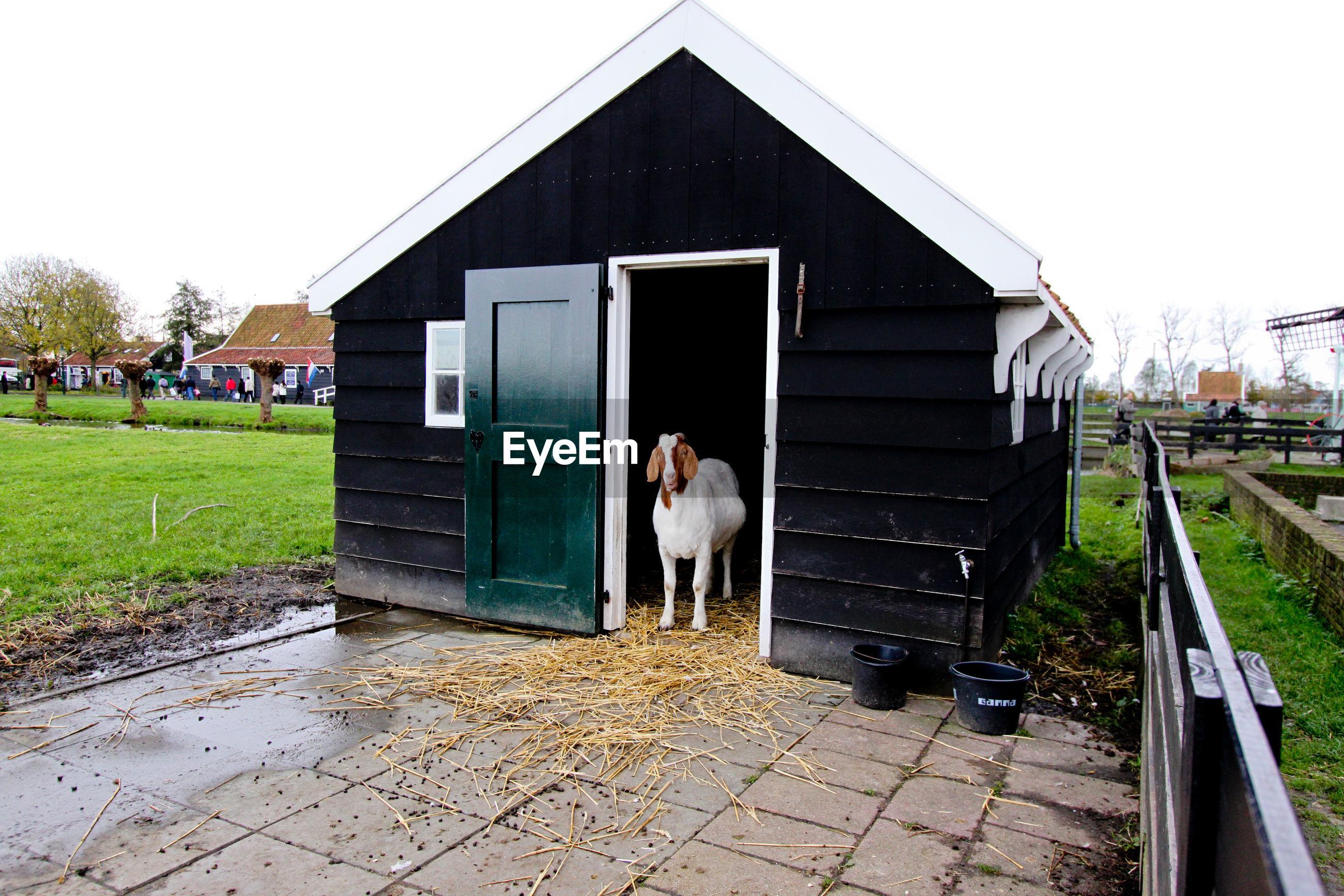 Portrait of goat at pallet