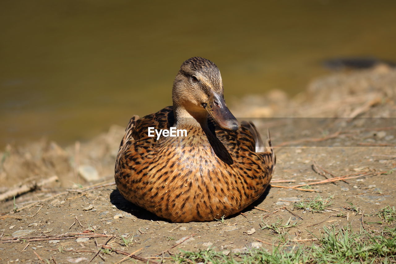 Close Up Of Female Mallard Duck Resting On Field On Eyeem