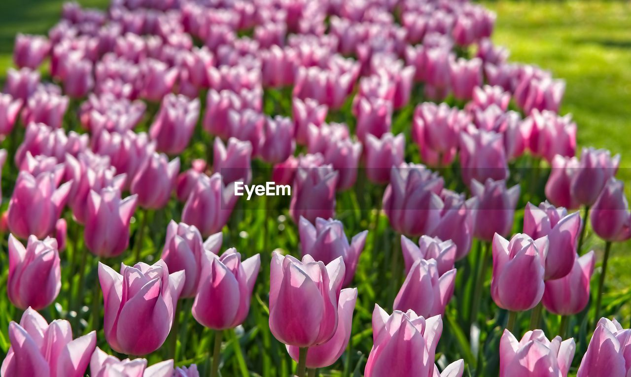 flowering plant, flower, plant, freshness, beauty in nature, vulnerability, fragility, petal, growth, purple, close-up, field, no people, pink color, nature, land, flower head, inflorescence, day, selective focus, outdoors, springtime, iris, flowerbed, crocus