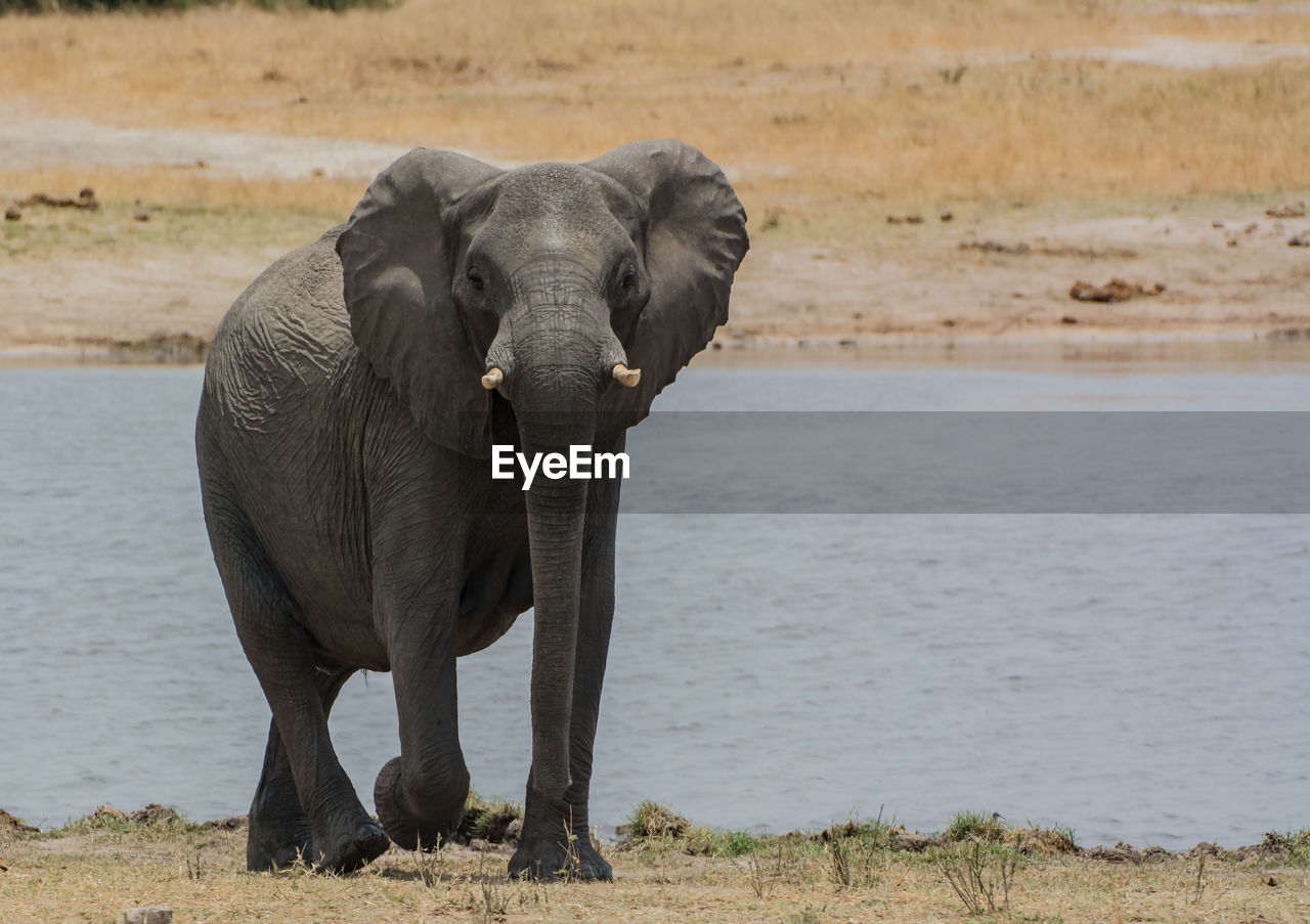 Elephant By River