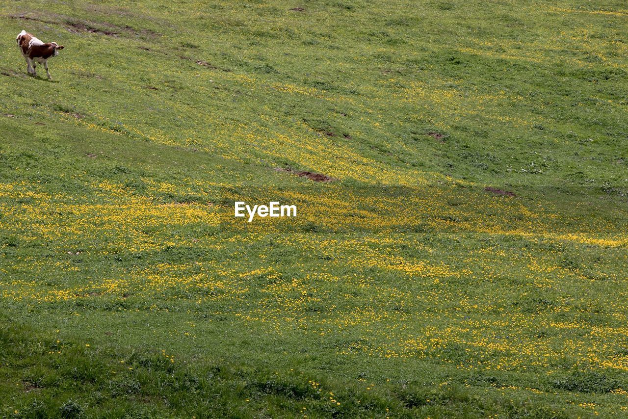 plant, green color, field, growth, landscape, land, grass, day, environment, nature, beauty in nature, tranquility, no people, scenics - nature, high angle view, tranquil scene, yellow, livestock, mammal, animal, outdoors