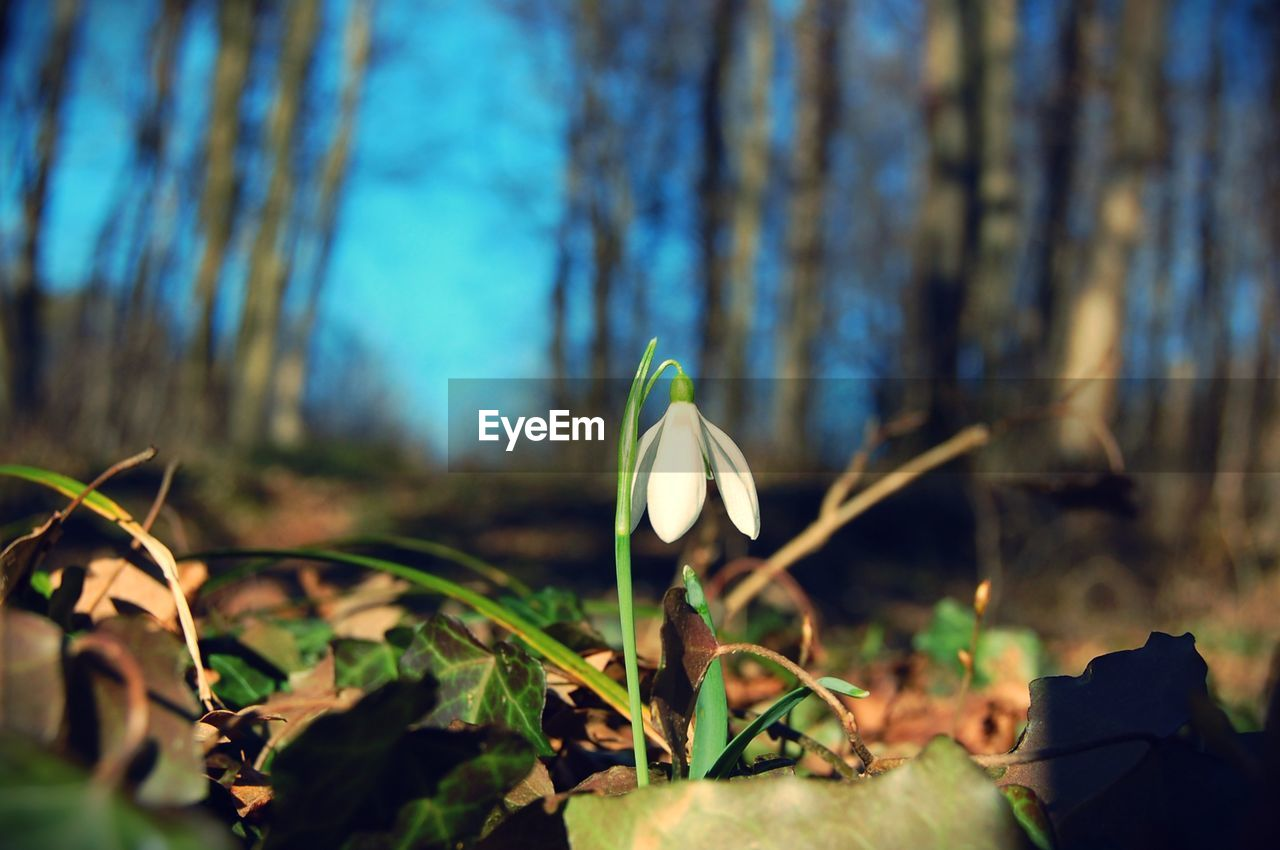 Close-up of snowdrop blooming on field