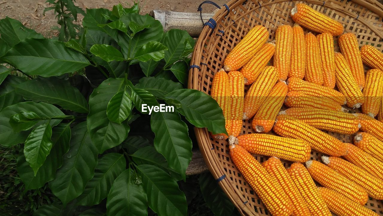 food and drink, healthy eating, food, wellbeing, freshness, vegetable, high angle view, basket, container, green color, large group of objects, for sale, market, plant part, no people, raw food, still life, yellow, leaf, day, sweetcorn, organic, outdoors, ripe