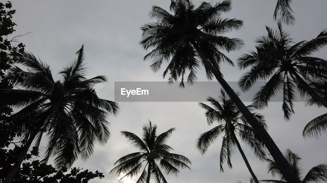 tree, tropical climate, palm tree, sky, low angle view, plant, silhouette, beauty in nature, growth, no people, tranquility, nature, outdoors, coconut palm tree, scenics - nature, tranquil scene, sunset, tree trunk, leaf, trunk, tropical tree, palm leaf