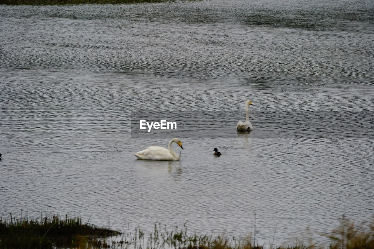 water, animal, animal themes, animals in the wild, animal wildlife, vertebrate, lake, group of animals, bird, day, no people, nature, young animal, swimming, outdoors, beauty in nature, young bird, non-urban scene, animal family, cygnet