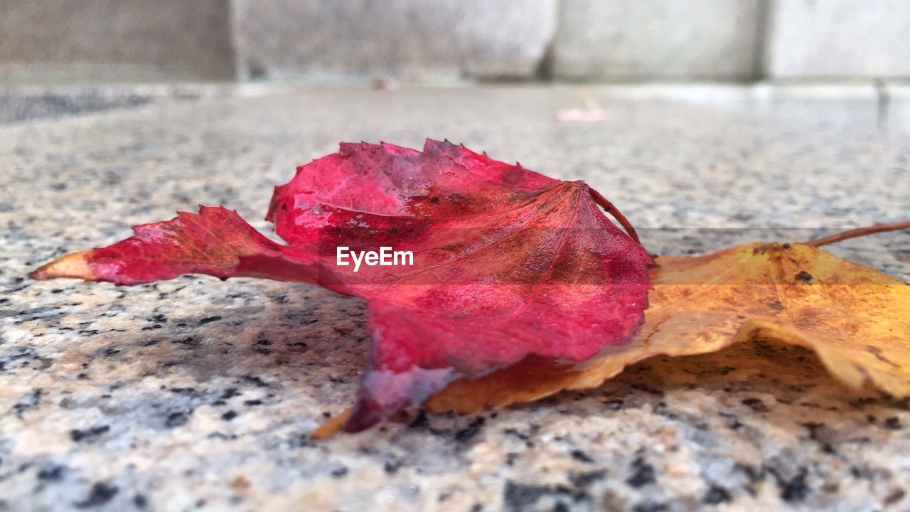 change, leaf, autumn, dry, nature, red, maple leaf, close-up, fallen, day, maple, selective focus, fragility, outdoors, no people, beauty in nature, water