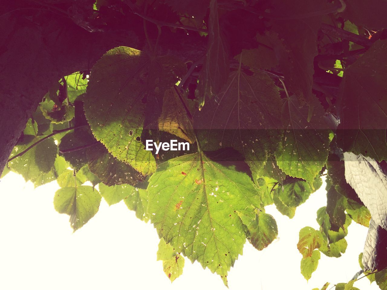 leaf, nature, plant, growth, no people, close-up, beauty in nature, outdoors, autumn, fragility, day, maple, freshness