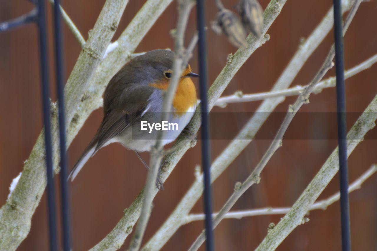 animal themes, animal, bird, vertebrate, animal wildlife, one animal, animals in the wild, perching, close-up, no people, robin, focus on foreground, day, nature, outdoors, metal, plant, selective focus, fence, songbird