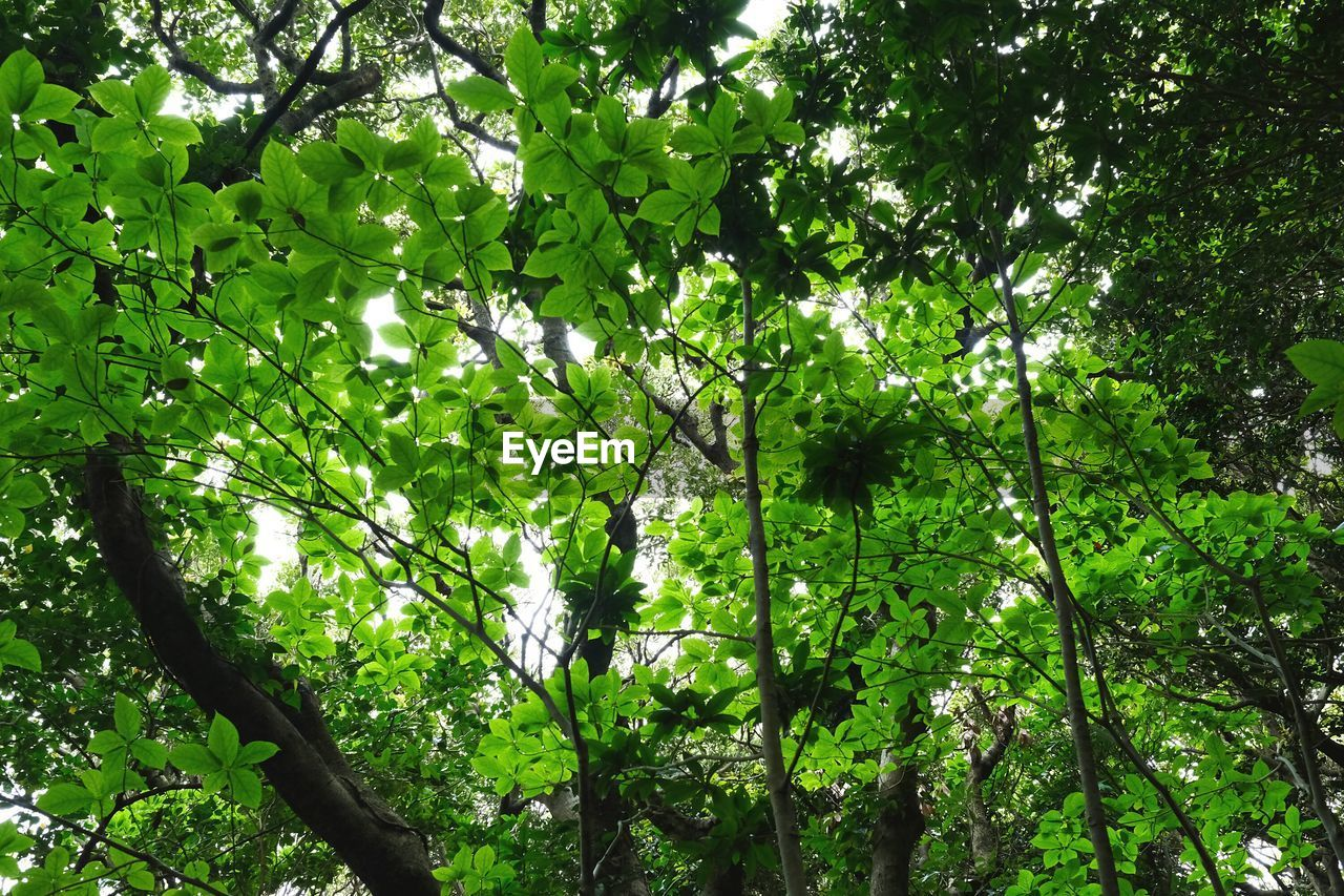 tree, growth, nature, low angle view, green color, green, beauty in nature, branch, forest, outdoors, foliage, day, no people, leaf, freshness