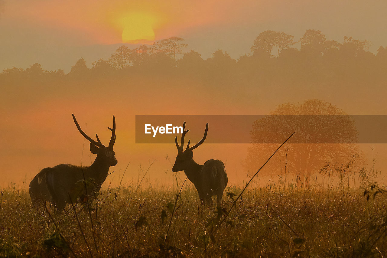 DEER IN A FIELD DURING SUNSET