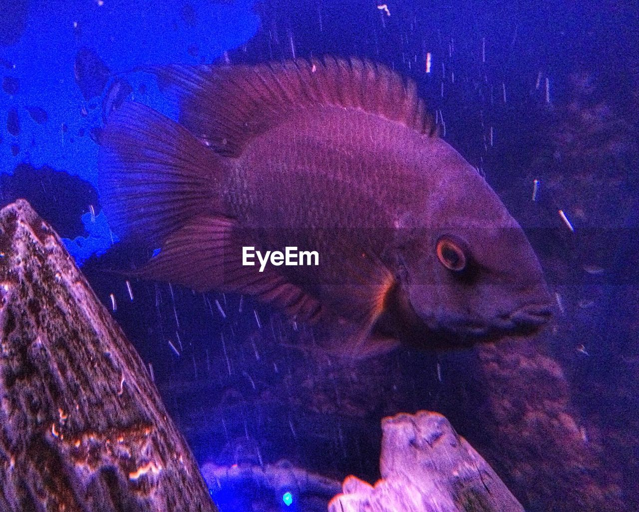 Close-Up Of Cichlid Swimming In Fish Tank