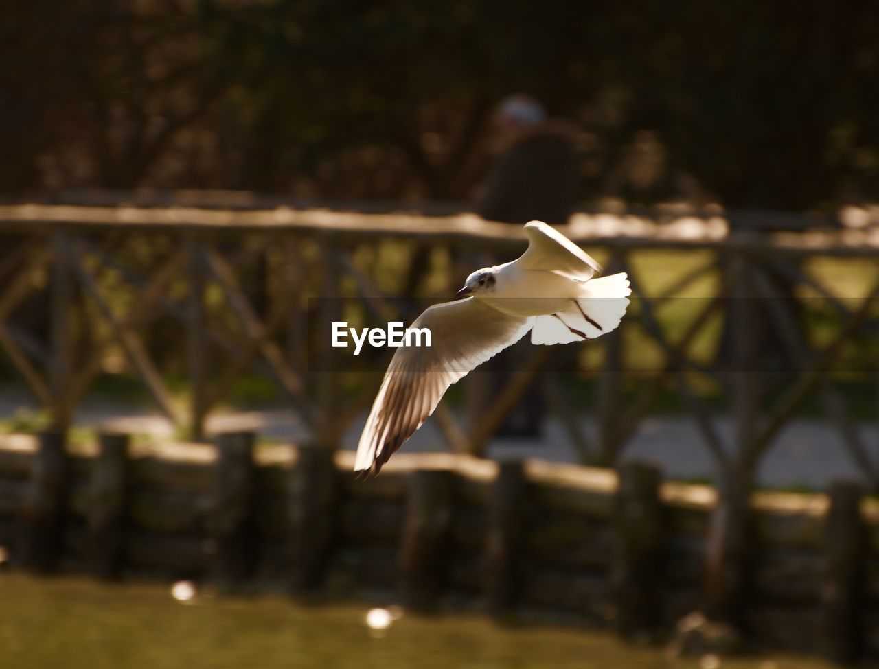 animal themes, bird, flying, one animal, animal, animal wildlife, spread wings, vertebrate, animals in the wild, mid-air, focus on foreground, no people, white color, day, nature, motion, egret, close-up, selective focus, outdoors, seagull