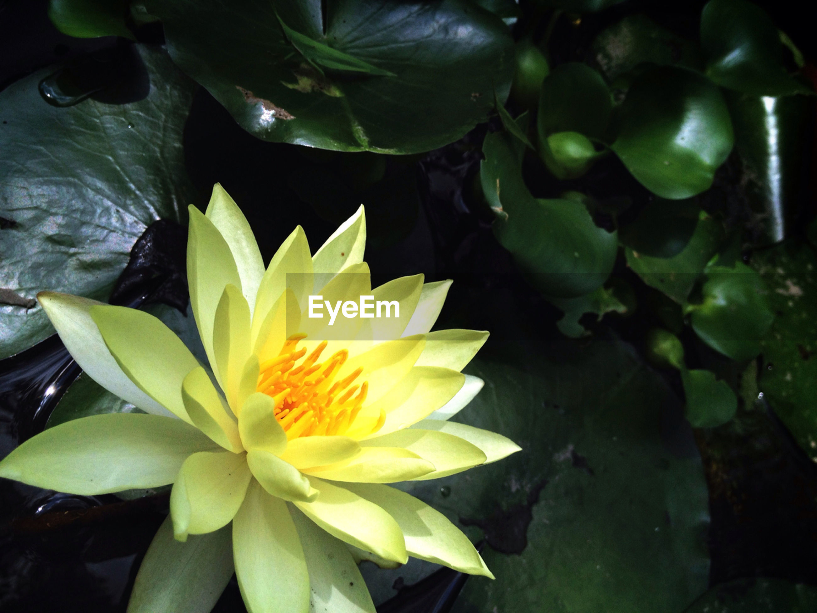 flower, petal, freshness, flower head, fragility, growth, leaf, beauty in nature, water lily, water, pond, plant, nature, single flower, blooming, high angle view, close-up, floating on water, white color, in bloom