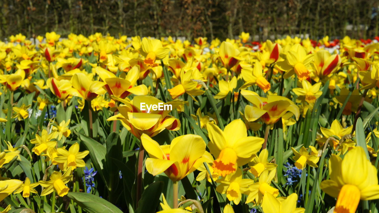 flower, yellow, growth, plant, petal, nature, beauty in nature, fragility, field, freshness, vibrant color, blooming, day, outdoors, no people, abundance, springtime, flower head, flowerbed, close-up