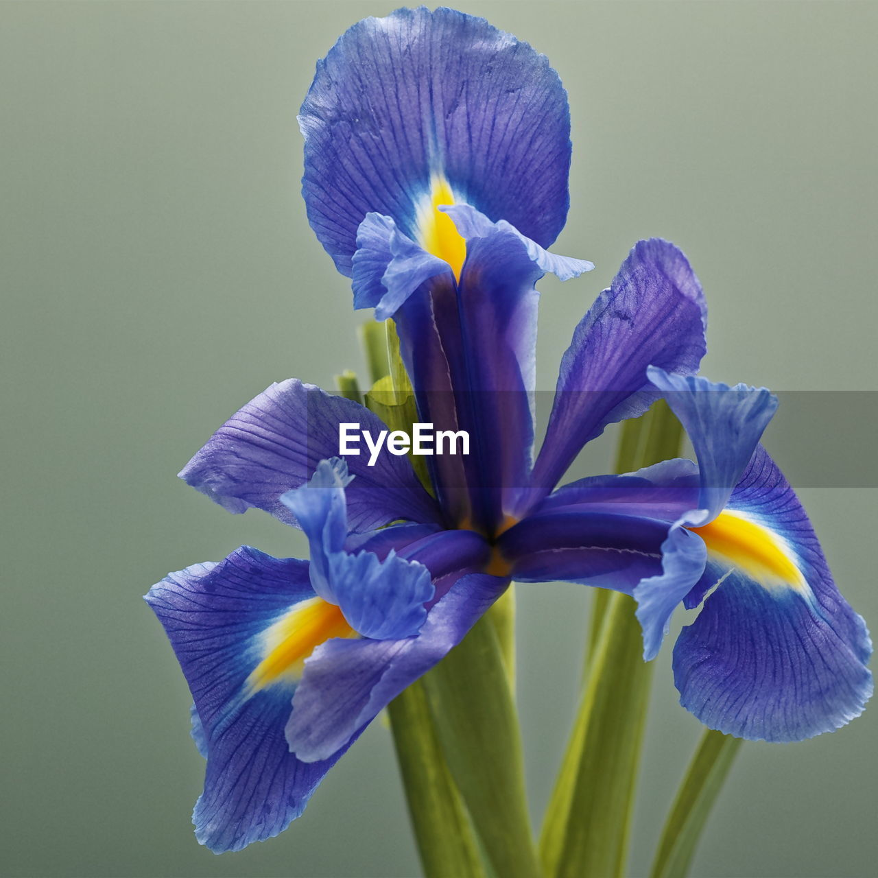 flower, petal, beauty in nature, fragility, flower head, purple, freshness, nature, growth, no people, close-up, iris - plant, studio shot, plant, yellow, blue, day, blooming, outdoors