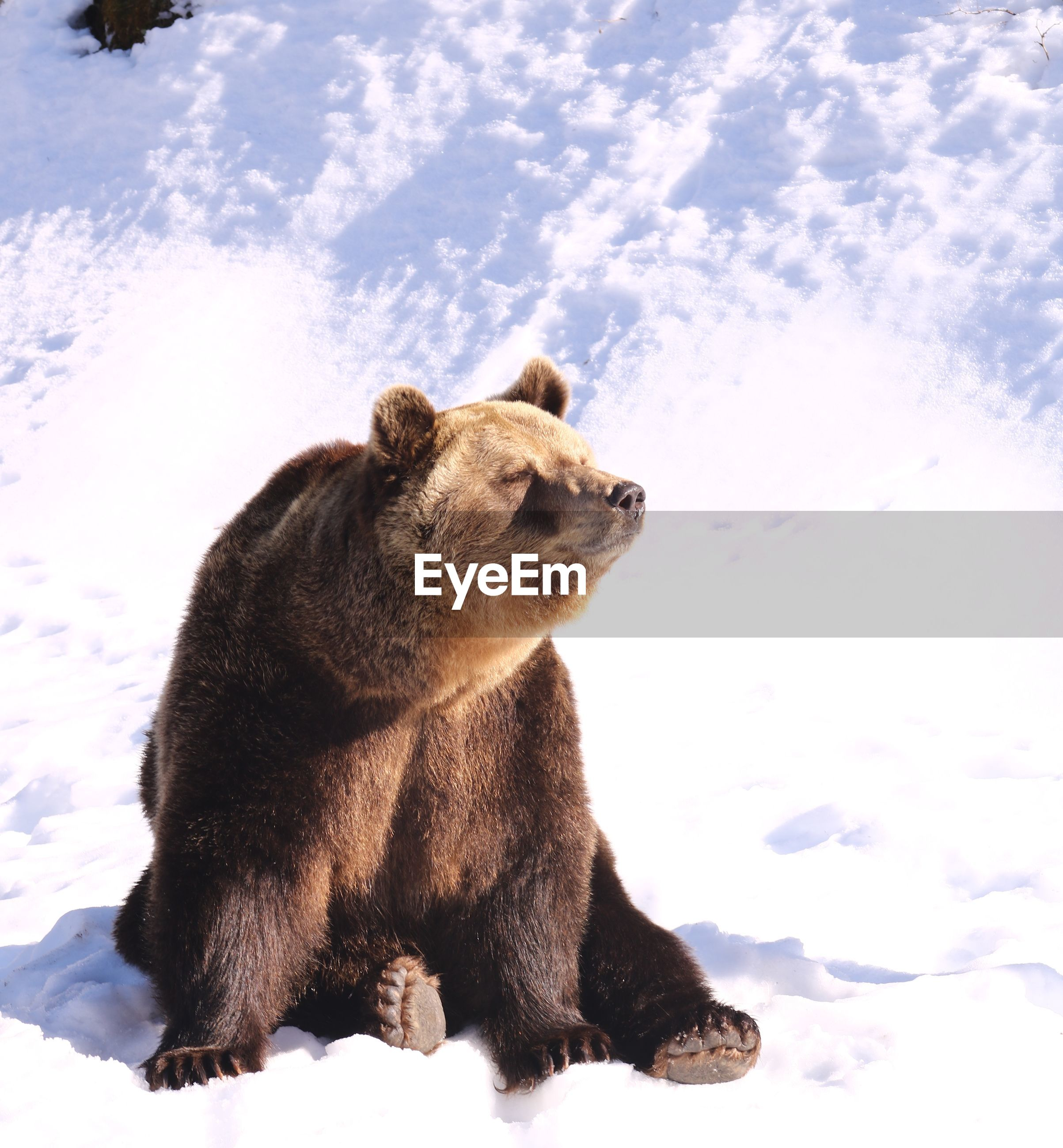 bear sitting on snow covered landscape during winter