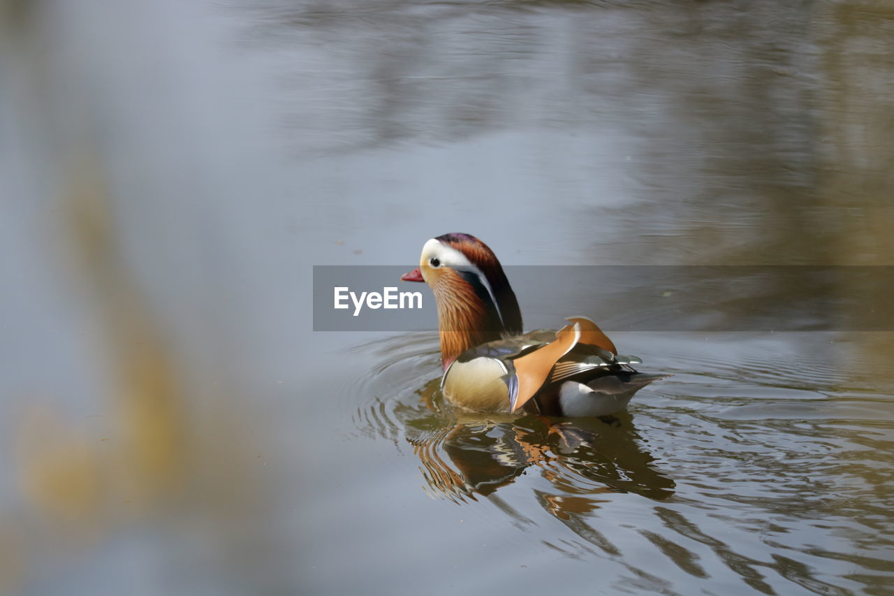 animal themes, bird, animal, water, animal wildlife, vertebrate, animals in the wild, lake, one animal, waterfront, duck, mandarin duck, poultry, swimming, no people, day, reflection, nature, water bird