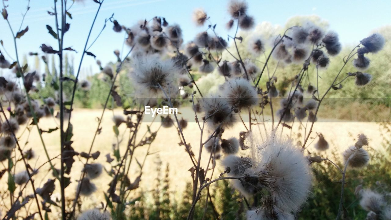 Close-up of dandelions growing on field on sunny day