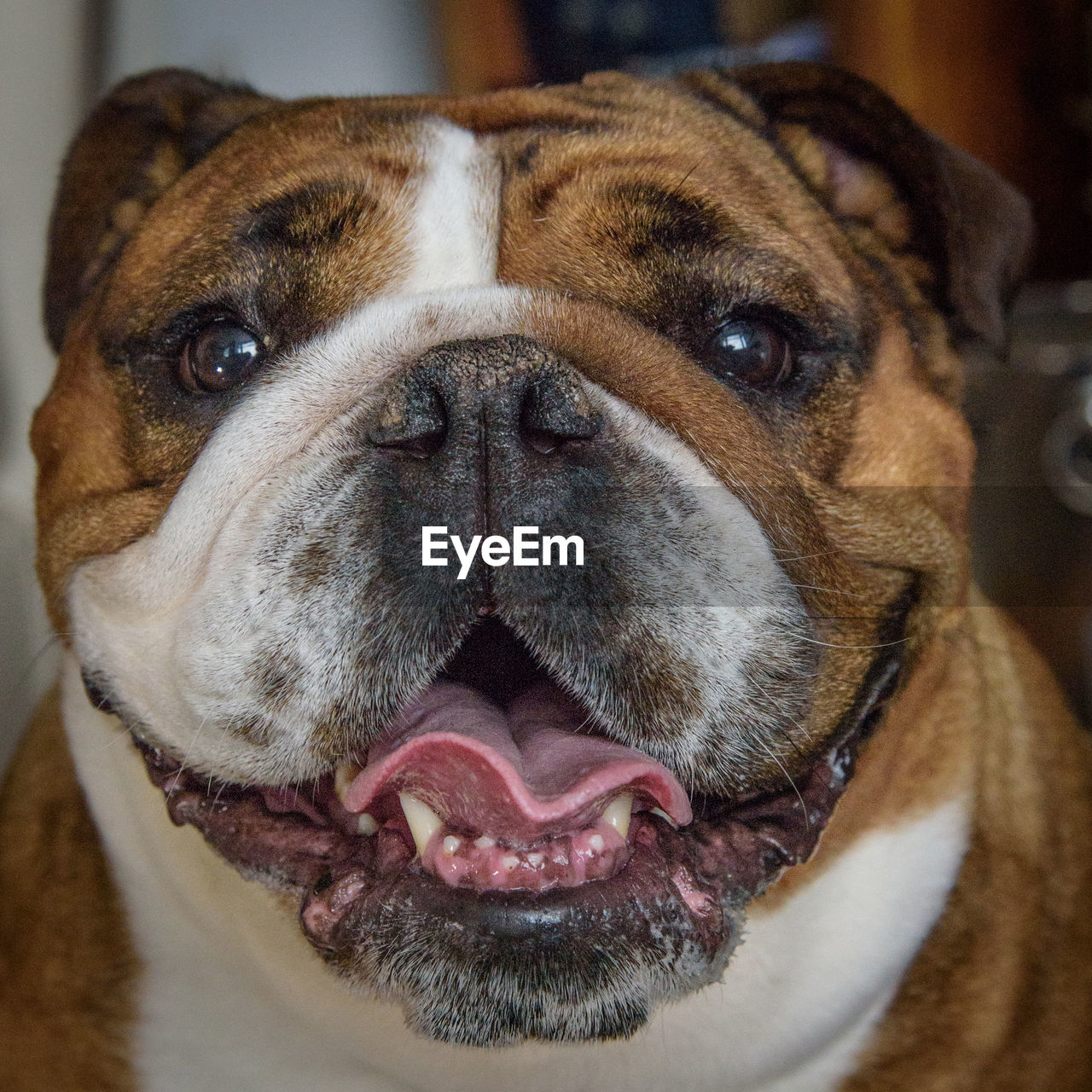 canine, dog, pets, domestic, one animal, mammal, animal themes, domestic animals, animal, vertebrate, close-up, animal body part, no people, portrait, animal head, brown, indoors, focus on foreground, looking at camera, home interior, animal mouth, animal nose, snout