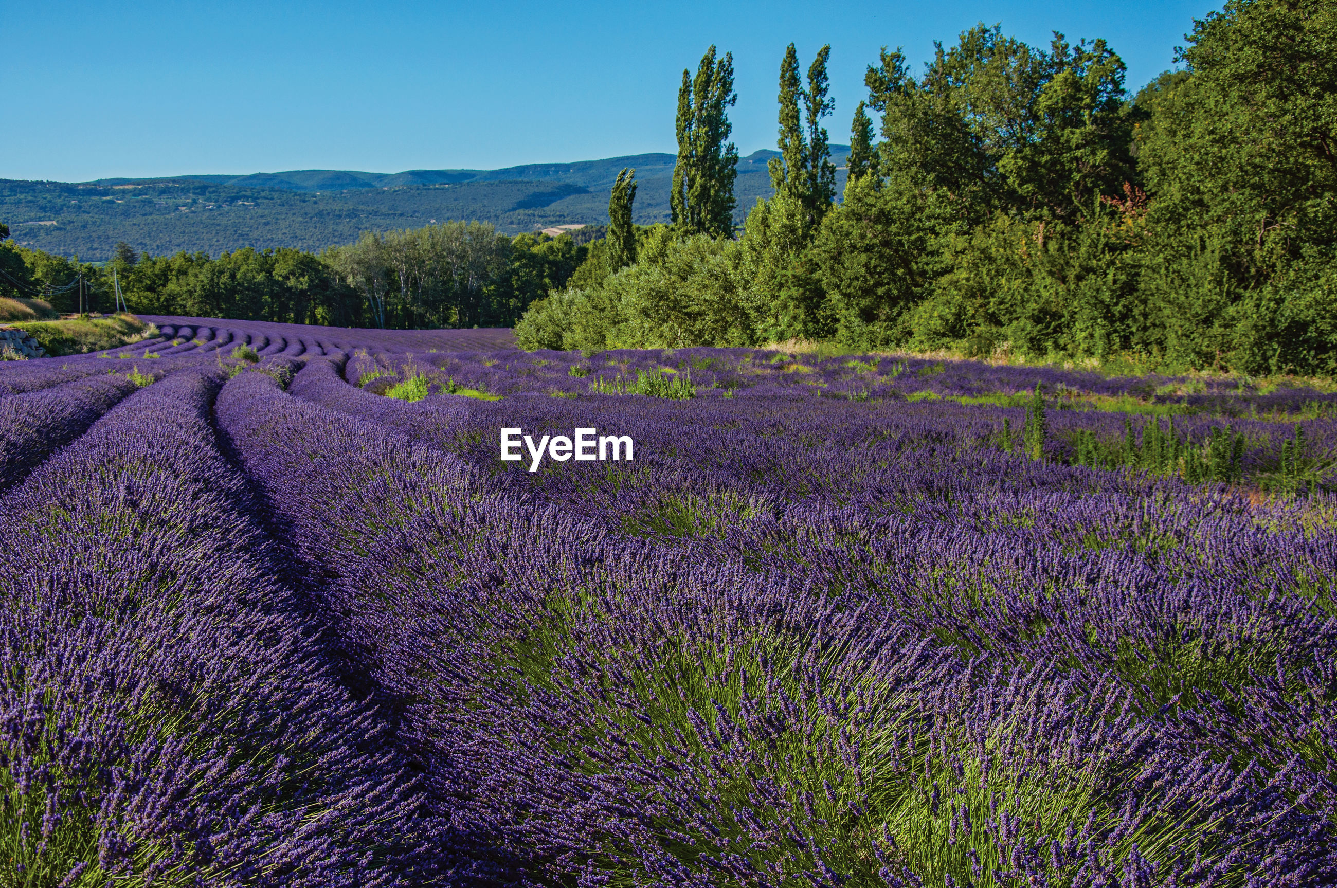 SCENIC VIEW OF FIELD BY TREES AND PURPLE FLOWERS