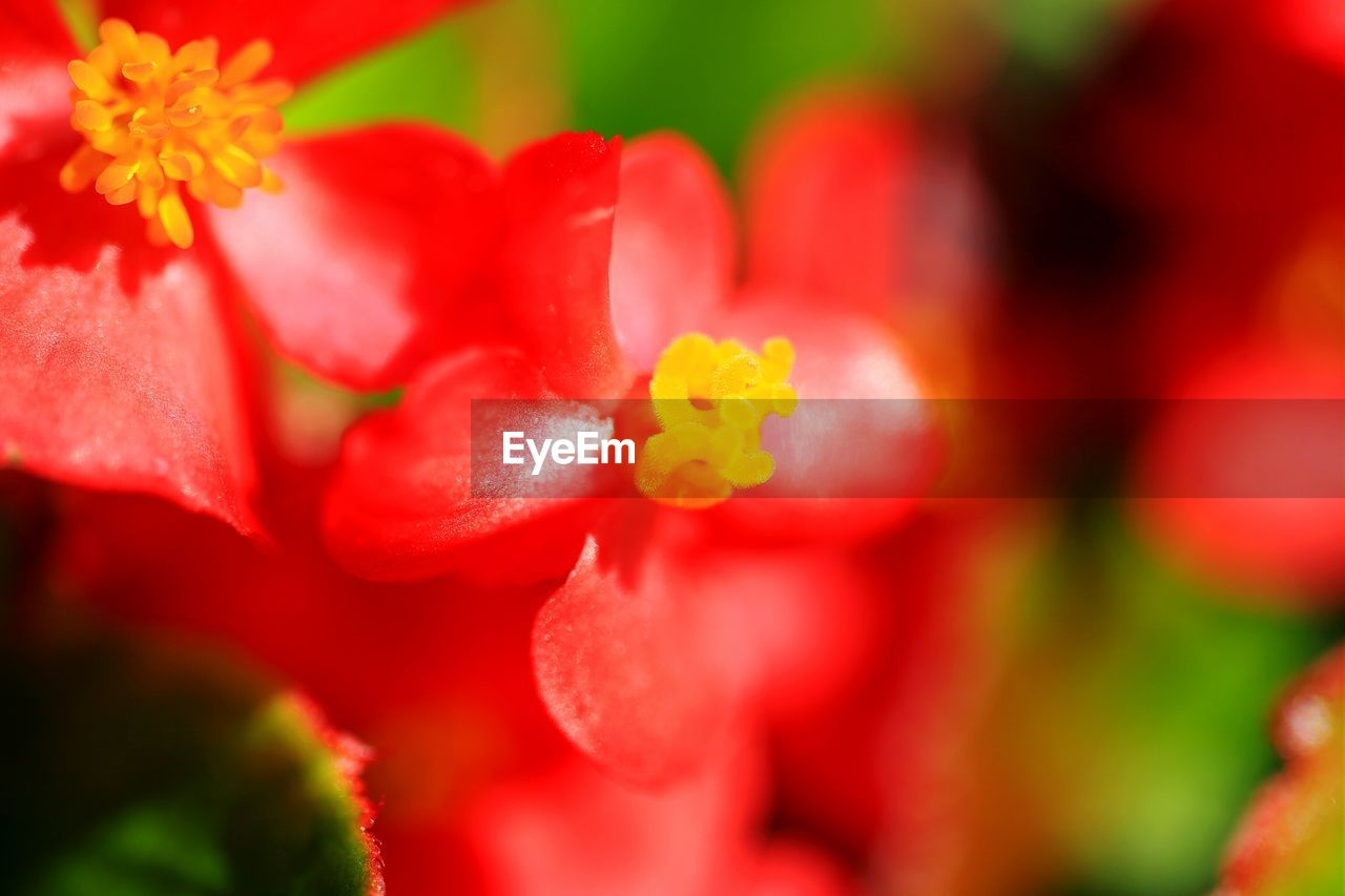 flower, beauty in nature, nature, growth, red, freshness, selective focus, no people, petal, plant, fragility, close-up, outdoors, flower head, blooming, day