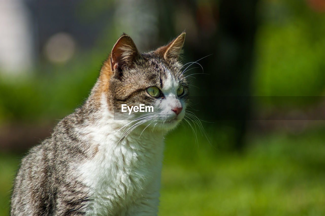 animal themes, one animal, mammal, animal, cat, feline, domestic, pets, domestic animals, domestic cat, focus on foreground, vertebrate, whisker, looking, day, looking away, no people, close-up, nature, outdoors, animal head, tabby, animal eye