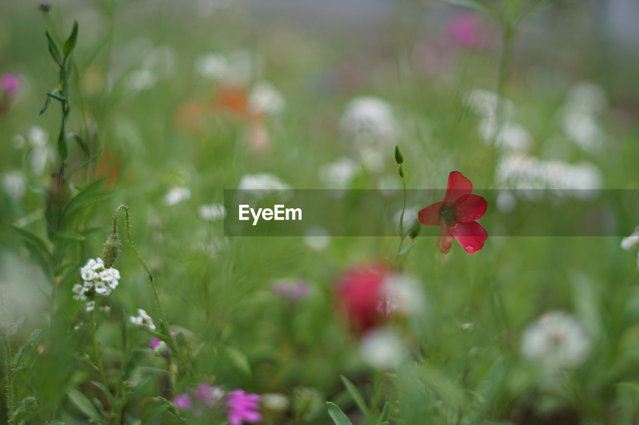 plant, flower, flowering plant, beauty in nature, freshness, fragility, growth, vulnerability, petal, close-up, red, inflorescence, flower head, nature, selective focus, no people, field, day, land, poppy, outdoors
