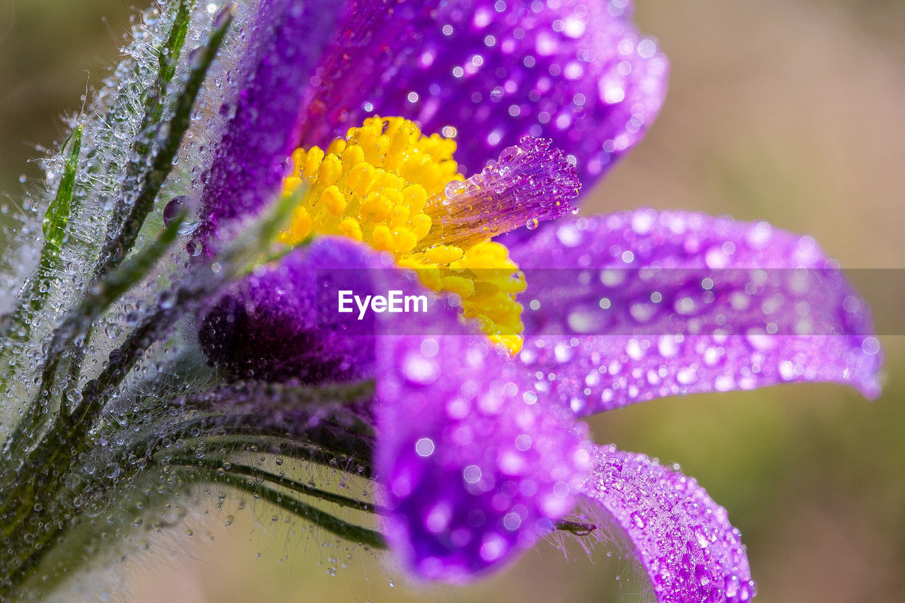 CLOSE-UP OF WET PURPLE FLOWERS