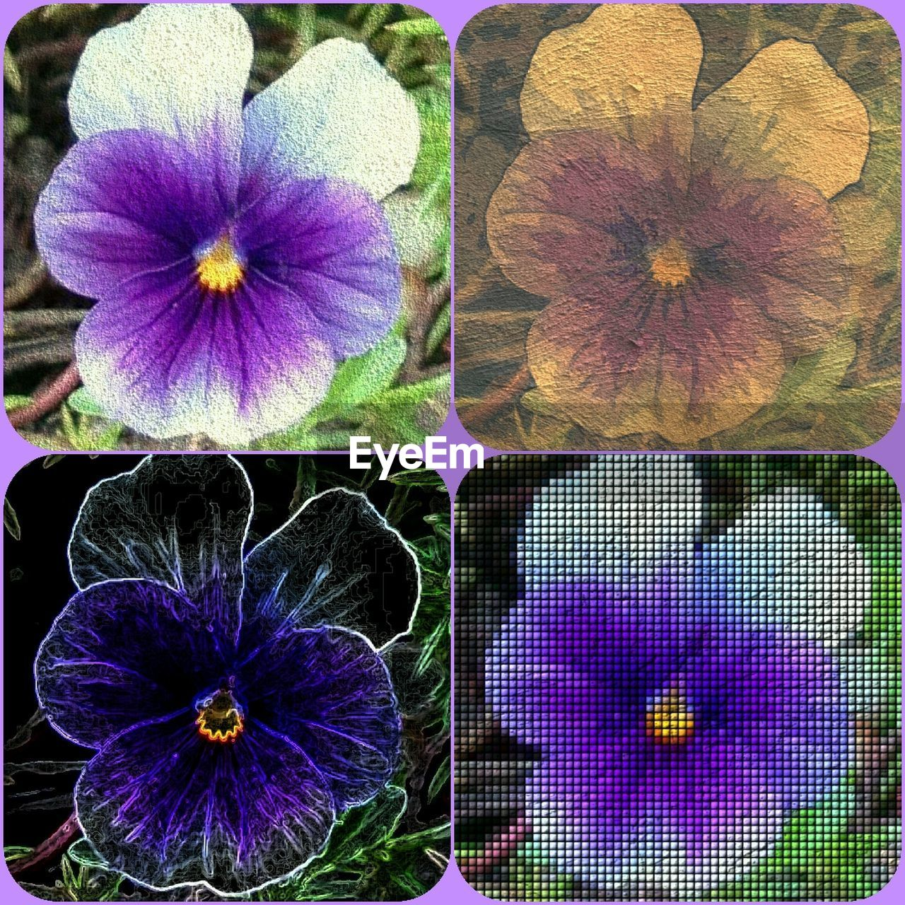 flower, petal, fragility, plant, nature, purple, beauty in nature, flower head, growth, no people, blooming, collage, close-up, freshness, pansy, outdoors, day