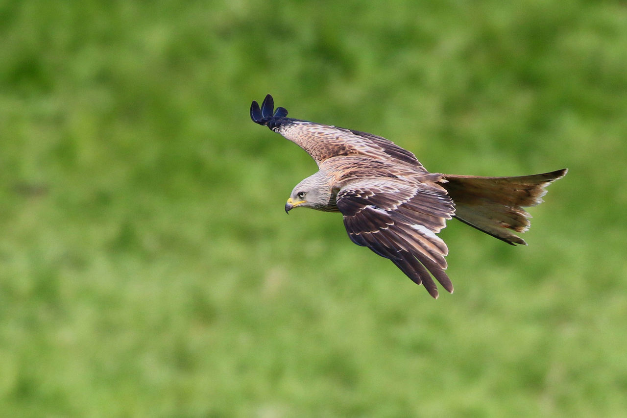animal wildlife, animals in the wild, bird, animal themes, animal, vertebrate, flying, spread wings, one animal, mid-air, no people, focus on foreground, nature, bird of prey, day, motion, close-up, side view, outdoors, beauty in nature