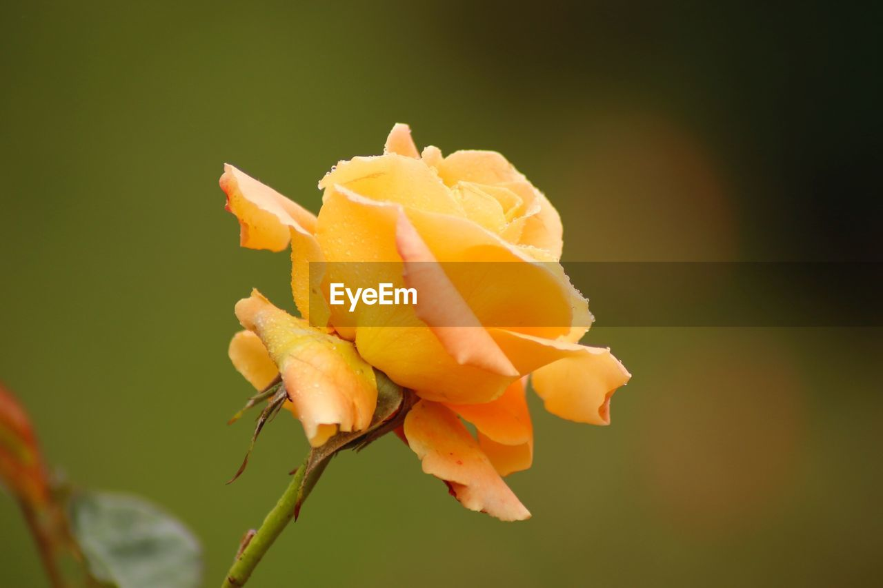 vulnerability, plant, flower, fragility, flowering plant, beauty in nature, growth, petal, close-up, inflorescence, freshness, flower head, nature, no people, orange color, focus on foreground, rose, outdoors, rose - flower, sepal