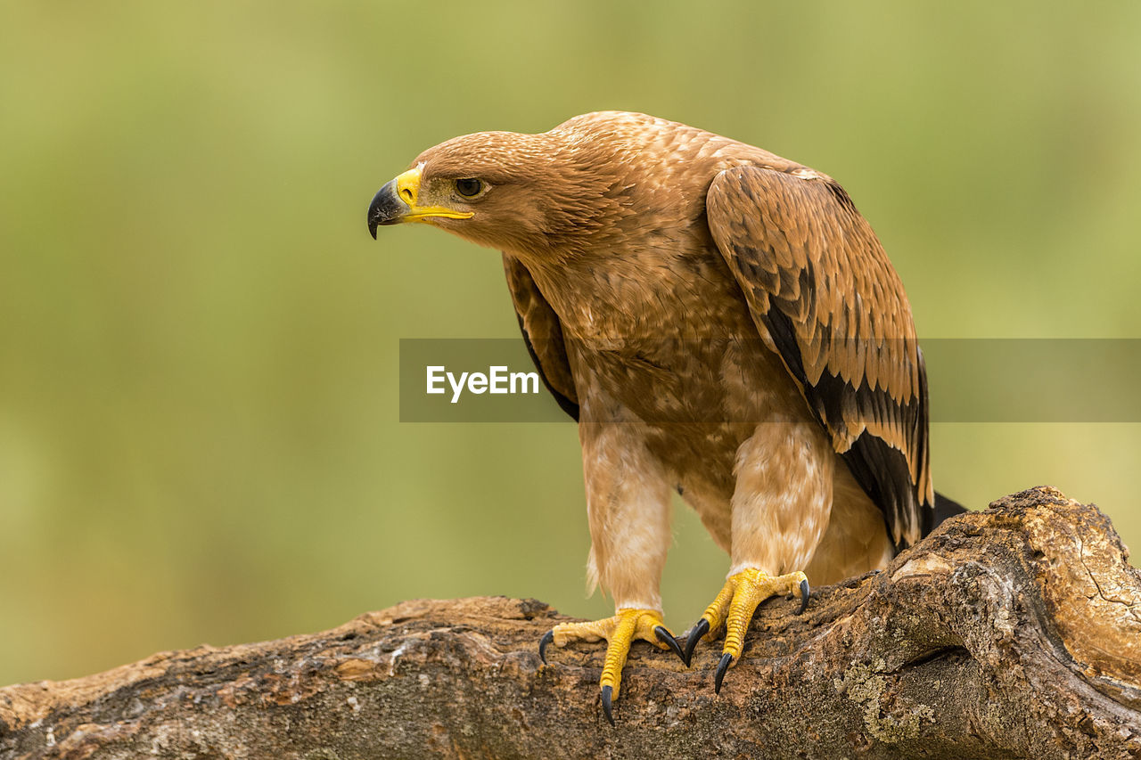 Close-Up Of Golden Eagle Perching On Branch